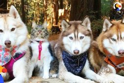cat-leads-her-pack-of-husky-dogs