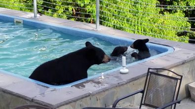 mother-bear-and-cubs-enjoying-a-pool
