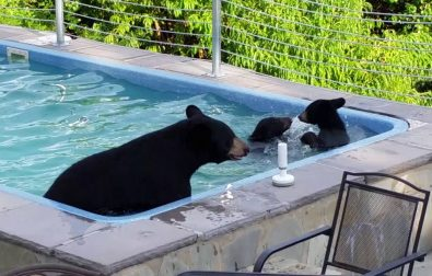 mother-bear-and-cubs-enjoying-a-pool