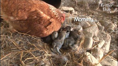 a-chicken-and-rabbit-are-co-mommy-to-some-bunnies