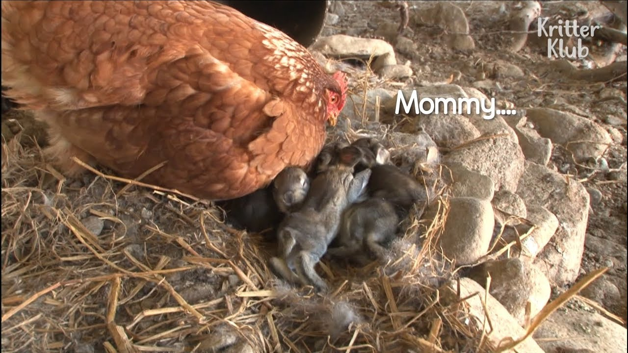 A Chicken And Rabbit Are Co-Mommy To Some Bunnies