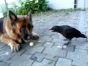 Dog And Wild Crow Play Ball With Human