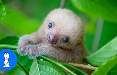 baby-sloths-being-baby-sloths