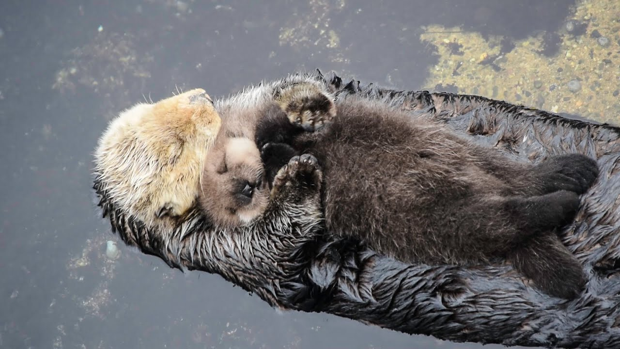 Baby Otter Taking A Nap On Its Mommy's Belly