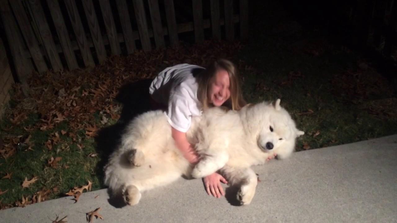 Funny Samoyed Dog Does Not Want To Go Inside