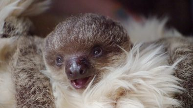 edward-the-baby-sloth-will-melt-your-heart