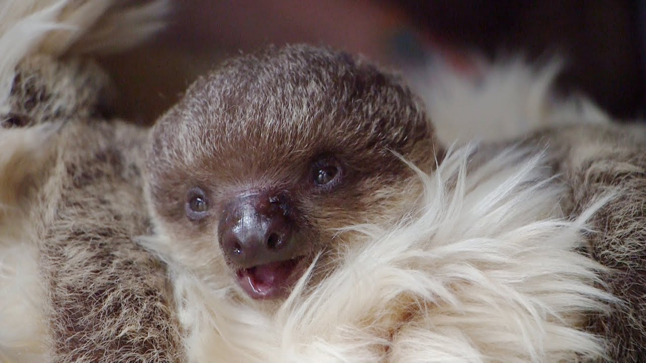 Edward The Baby Sloth Will Melt Your Heart