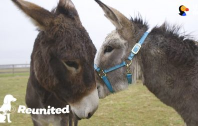mother-donkey-is-very-happy-to-be-reunited-with-her-son