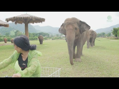 Adorable Elephants Follow Woman Riding A Bicycle
