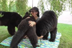 a-day-with-fluffy-and-cuddly-newfoundland-dogs