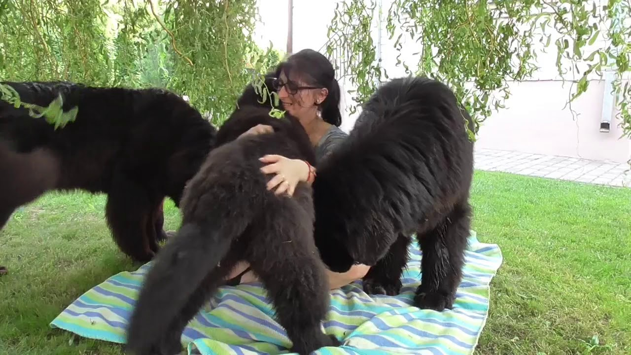 A Day With Fluffy And Cuddly Newfoundland Dogs