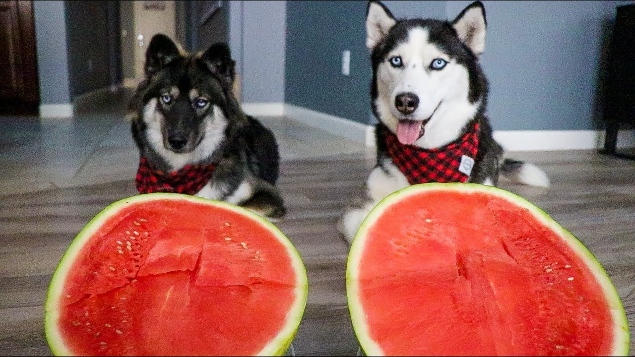 Dogs Have A Watermelon Eating Contest