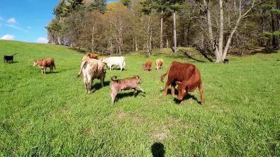 newborn-calves-having-fun-frolicking-in-a-field