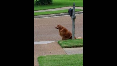 golden-retriever-waiting-for-the-mail-truck