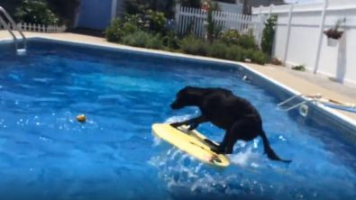 dog-jumps-on-floatig-board-to-get-to-ball-in-pool