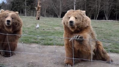 bears-waving-and-catching-bread