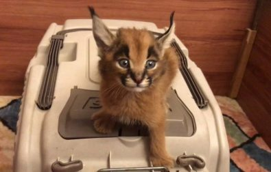 the-caracal-cat-has-the-most-unique-meow