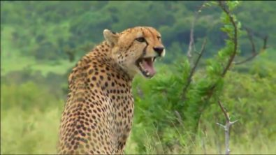 have-you-ever-wondered-what-cheetahs-sound-like