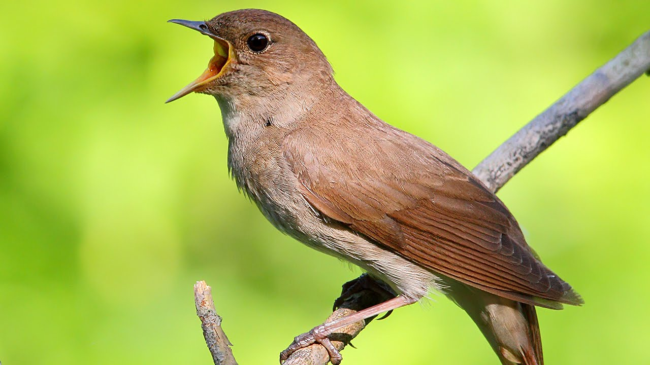 The Peaceful Sounds Of A Singing Nightingale