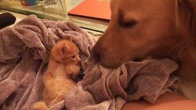 sleepy-kitten-greeting-dog-friend