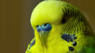 meet-disco-the-talking-budgie