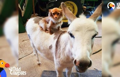 chihuahua-and-donkey-are-best-friends