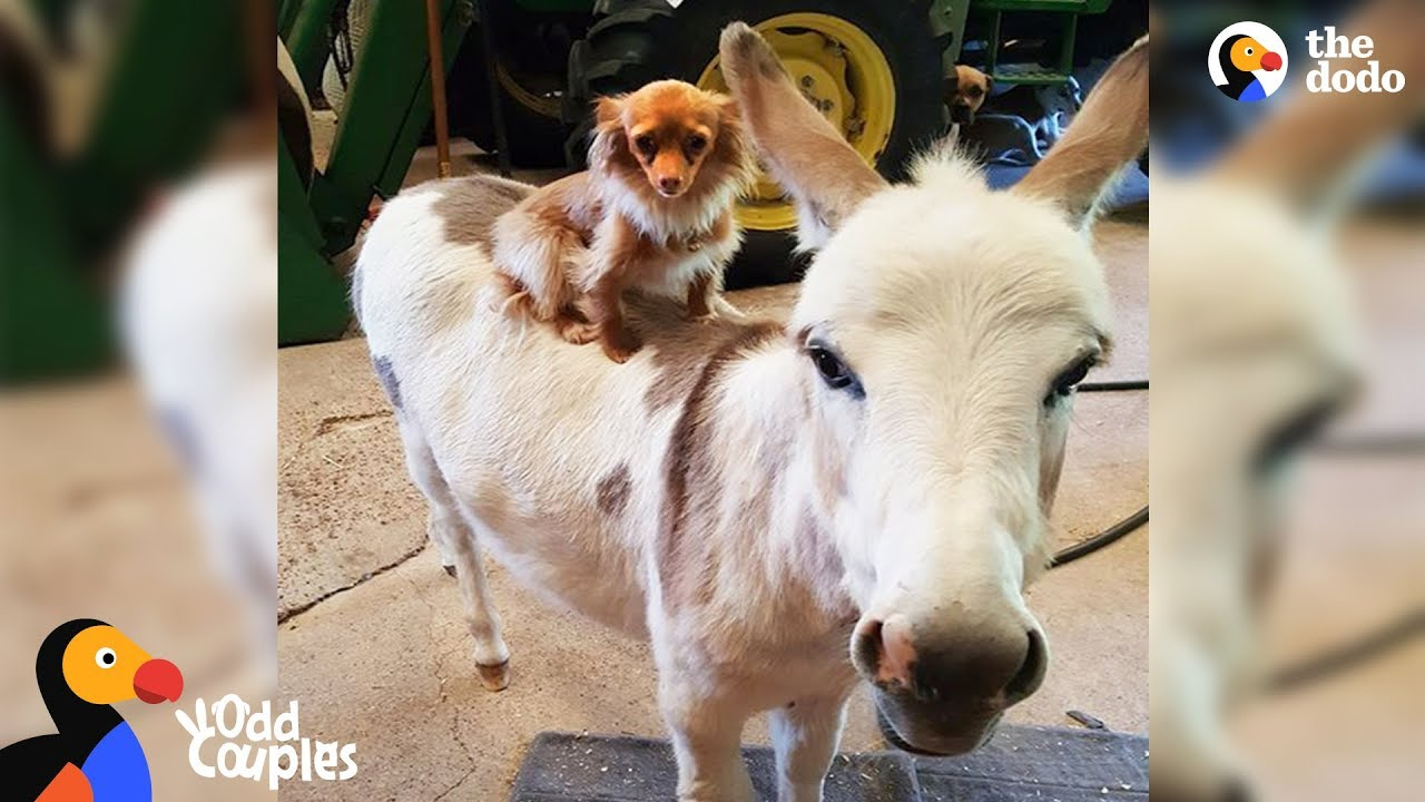 Chihuahua And Donkey Are Best Friends