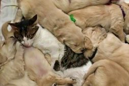 loving-cat-babysits-puppies
