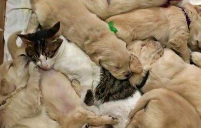 loving-cat-babysits-puppies