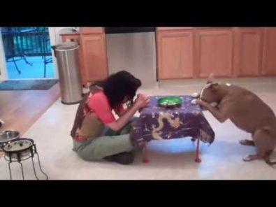 pitbull-performs-fancy-tricks