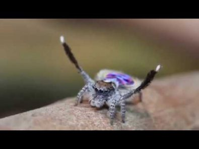 peacock-spider-dances-to-flamenco-music