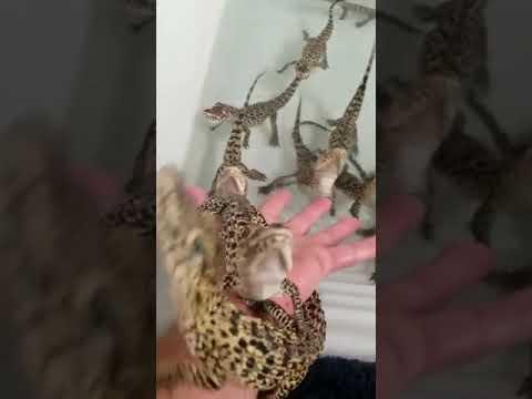 Even Baby Crocodiles Are Adorable