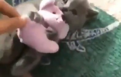 kitten-is-not-sharing-her-toy