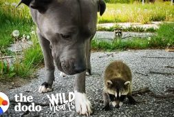 pitbull-becomes-adopted-mommy-to-raccoon-babies