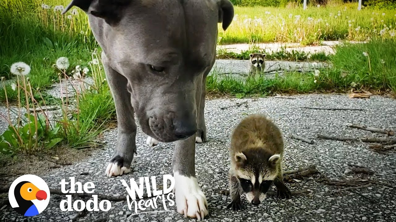 Pitbull Becomes Adopted Mommy To Raccoon Babies
