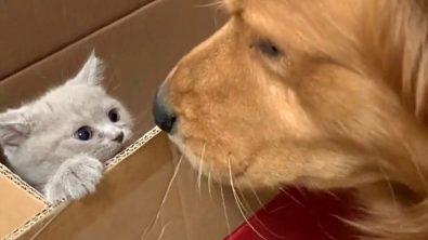 golden-retriever-gets-a-new-kitten-best-friend