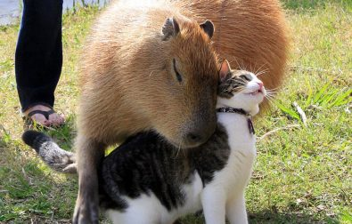 capybara-and-cat-are-best-friends