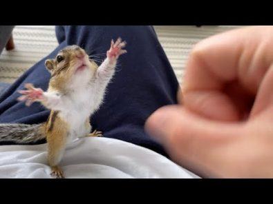 chipmunk-loves-his-human-mom