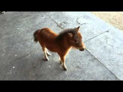baby-miniature-horse-playing-chase