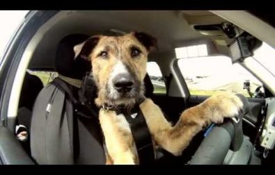 could-porter-the-driving-dog-be-your-next-uber-driver