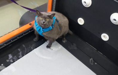 cinder-block-the-obese-cat-does-not-like-working-out
