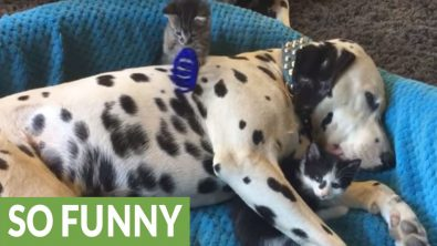 patient-dalmatian-becomes-playground-for-kittens