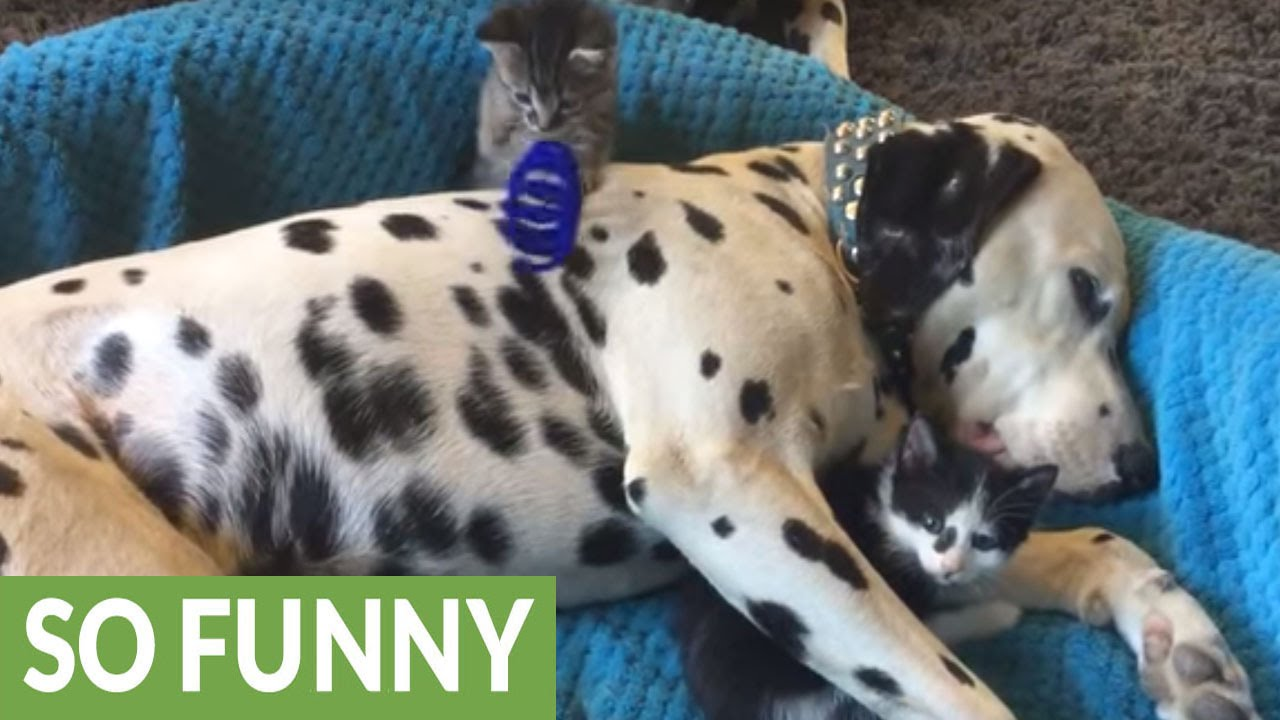 Patient Dalmatian Becomes Playground For Kittens