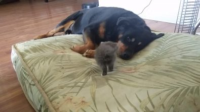 tiny-kitten-takes-large-dogs-bed