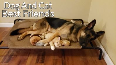 the-story-of-a-kitten-and-german-shepherd-becoming-best-friends