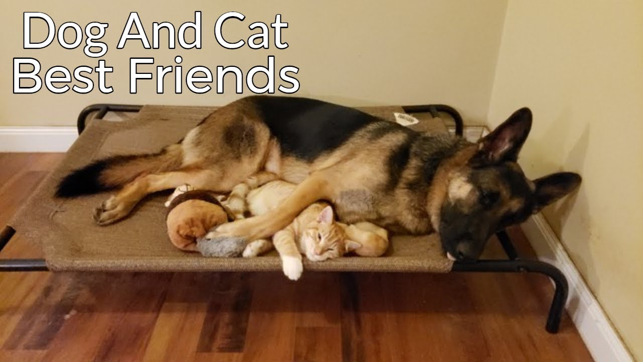 The Story Of A Kitten And German Shepherd Becoming Best Friends