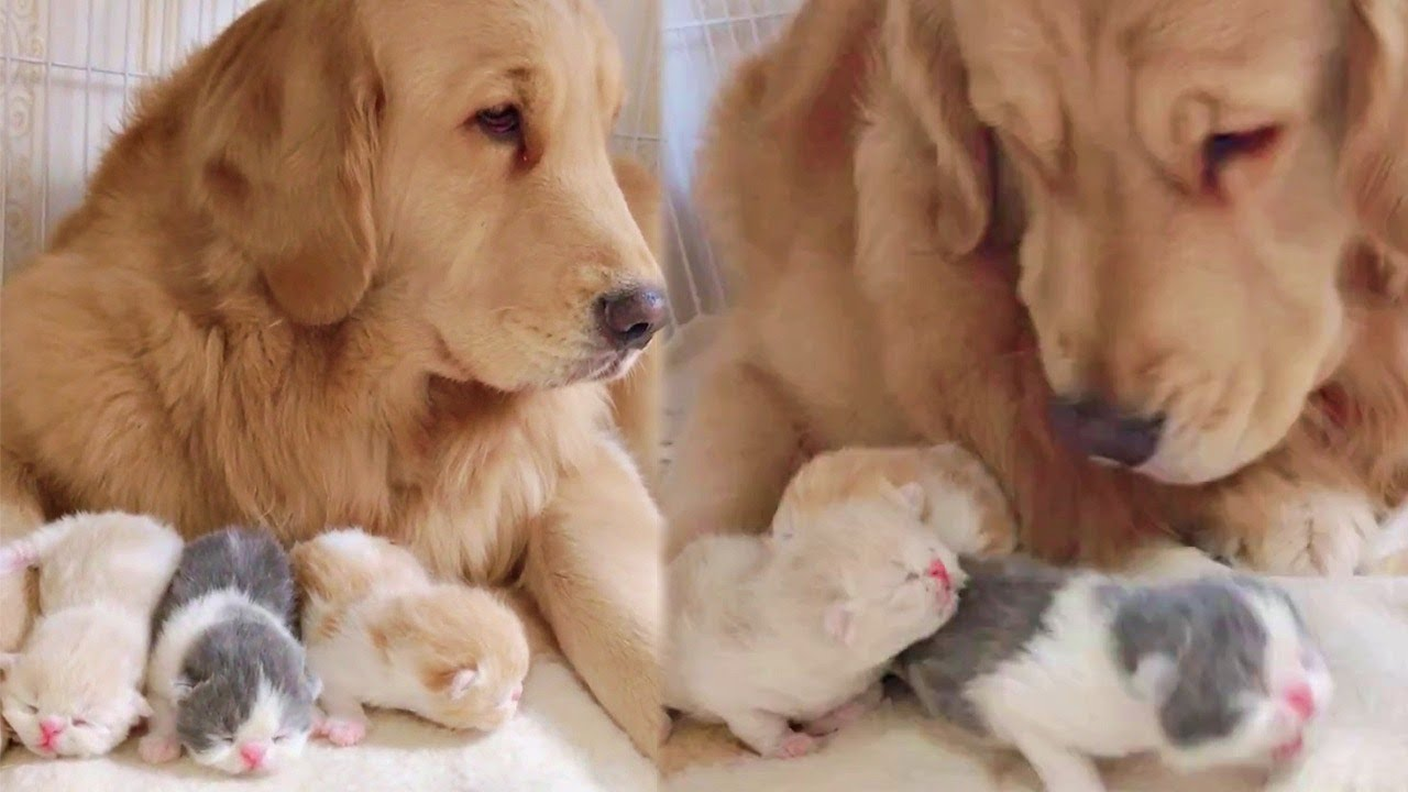 Golden Retriever Makes Sure Mother And Kittens Are Safe