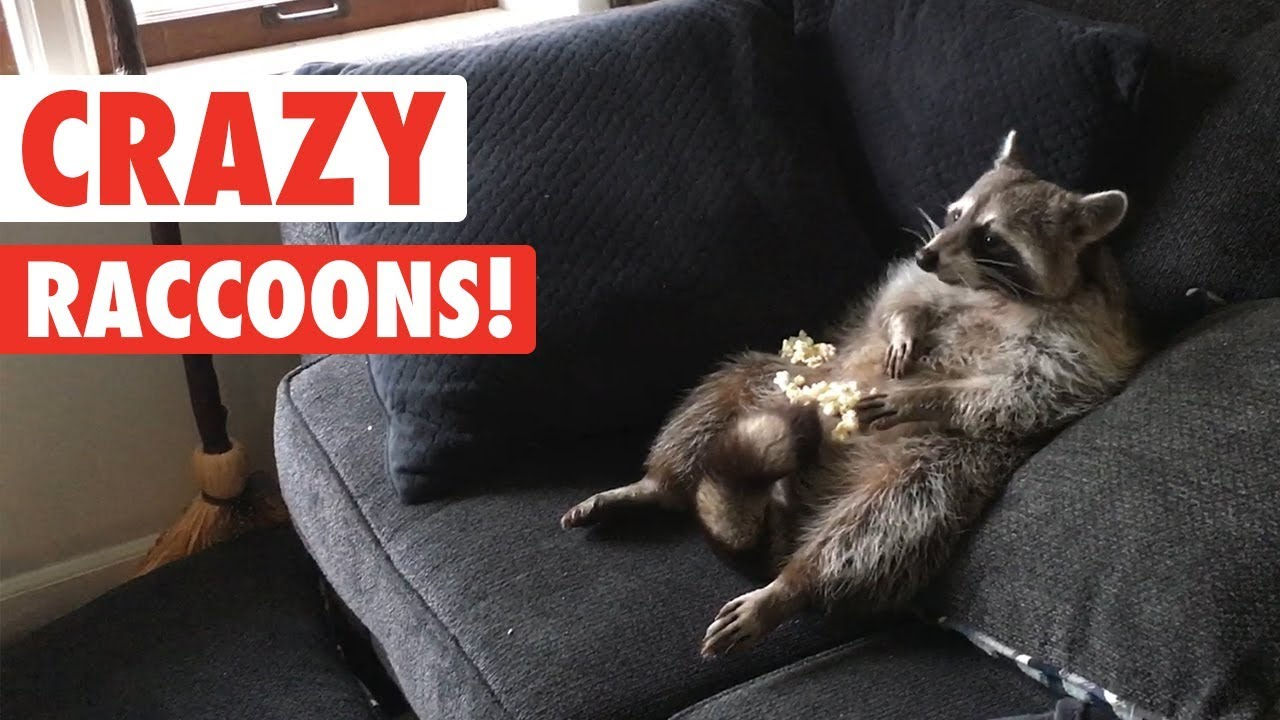 A Humorous Compilation Of Raccoons Being Funny