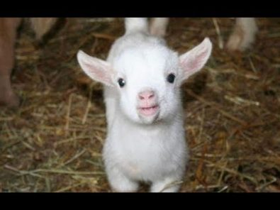 cutest-baby-goats