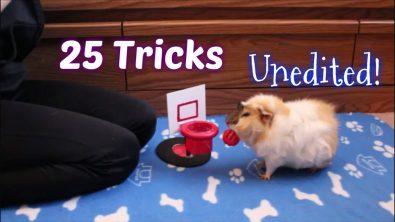 guinea-pig-does-25-tricks
